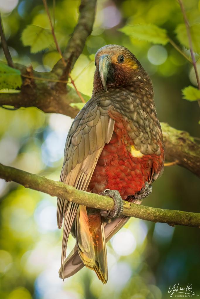 Kaka: The Talkative Bird by yorkshirekiwi