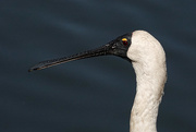 27th Jan 2021 - Portrait of a young royal spoonbill