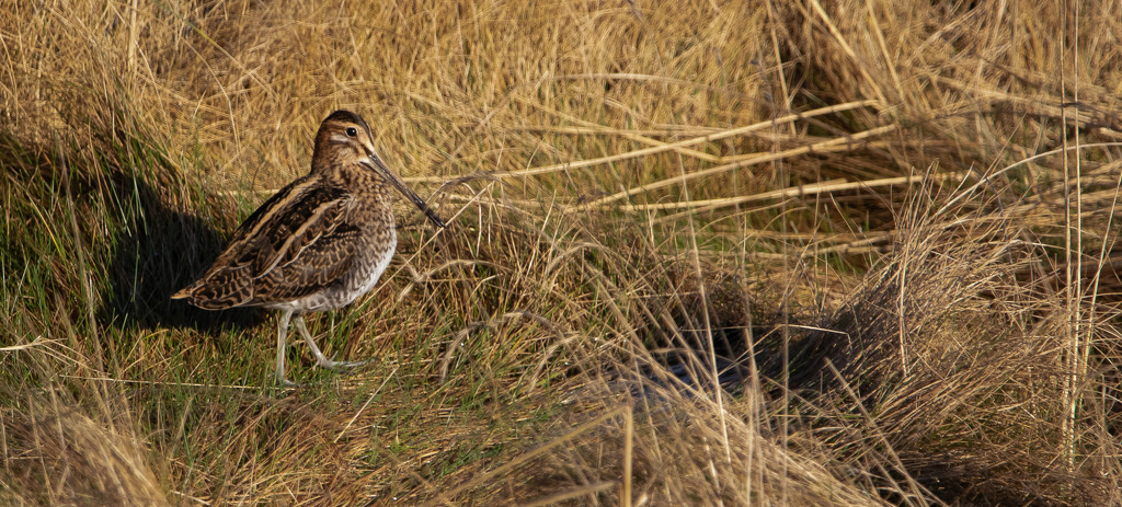 Snipe by lifeat60degrees