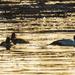 Common goldeneyes in icy water