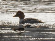 27th Jan 2021 - Female common goldeneye