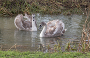 27th Jan 2021 - Two ugly ducklings