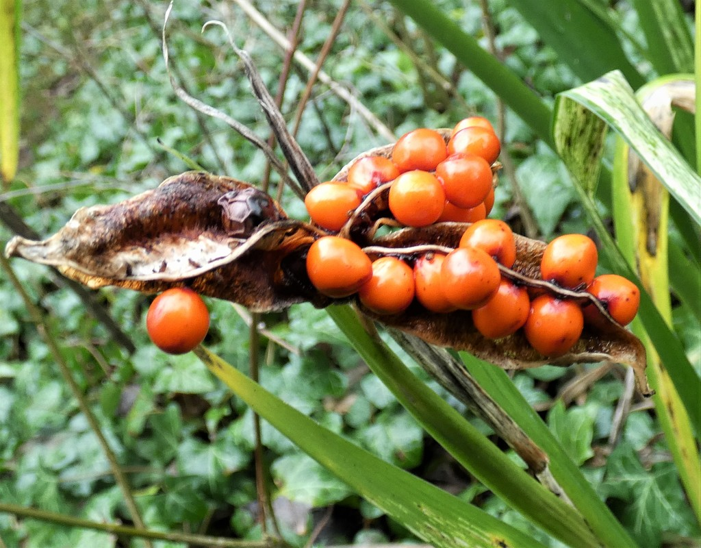 Stinking Iris pod by julienne1