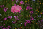 28th Jan 2021 - Single pink poppy