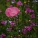 Single pink poppy