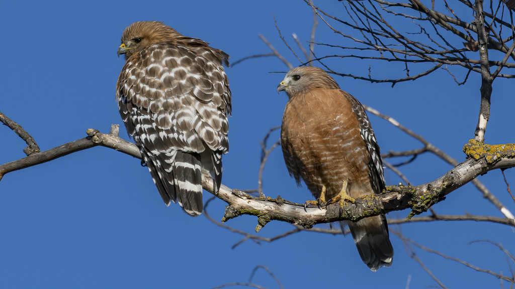 Red Shoulder Hawks #2 by mikegifford