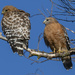 Red Shoulder Hawks #2