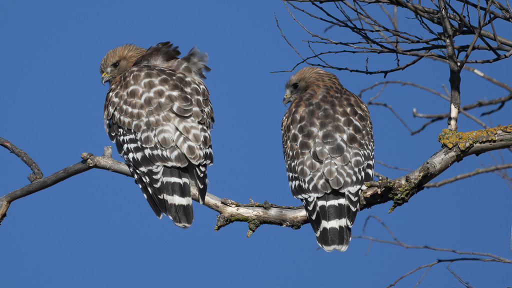 Red Shoulder Hawks #1 by mikegifford