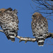 Red Shoulder Hawks #1