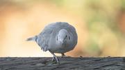25th Jan 2021 - Eurasian Collared-Dove
