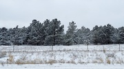 27th Jan 2021 - Line of Snowy Pines