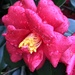 Camellia after rain