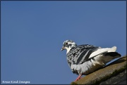 28th Jan 2021 - Spotted pigeon