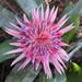 Flowering Bromeliad by ninaganci
