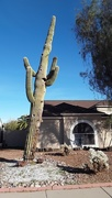 28th Jan 2021 - neighborhood saguaro