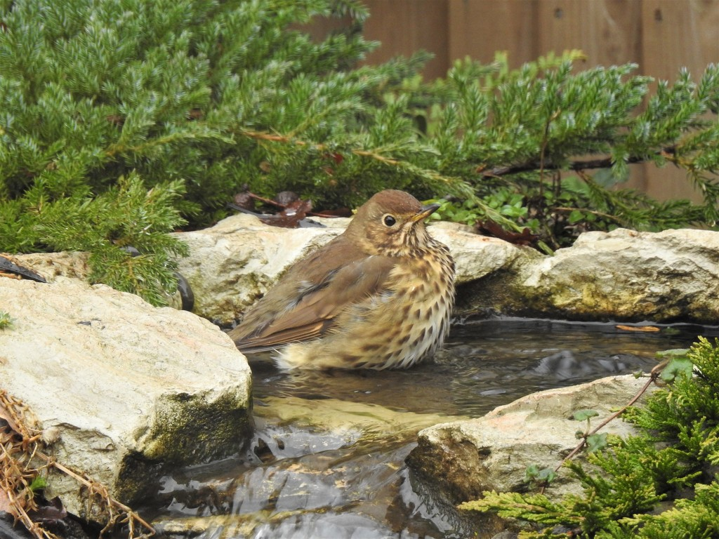 Thrush taking a bath by susiemc