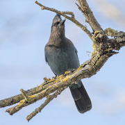 28th Jan 2021 - Steller's Jay on the Lookout