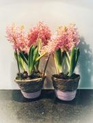 30th Jan 2021 - Hyacinth.