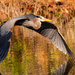 Blue Heron Fly-by! by rickster549