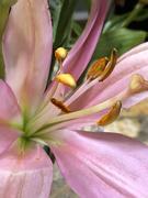 26th Jan 2021 - Inside purple lily