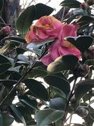 27th Jan 2021 - Camellias