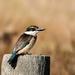 KIngfisher by maureenpp
