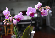 25th Jan 2021 - New orchid