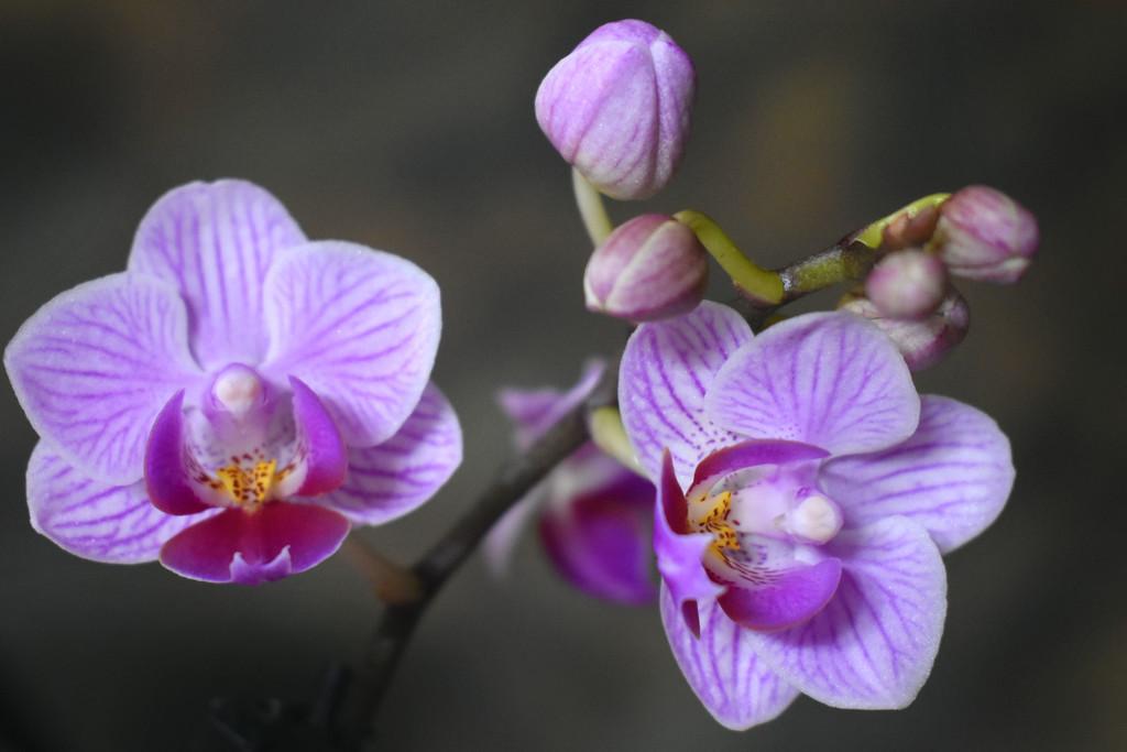 Purple orchid by homeschoolmom