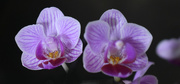 25th Jan 2021 - Orchid twins