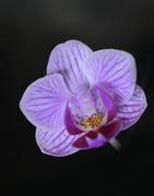 25th Jan 2021 - Purple orchid on black