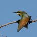 Rainbow Bee-eater preening