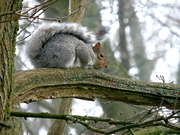 28th Jan 2021 - Squirrel