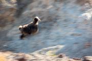 29th Jan 2021 - A fast goat....