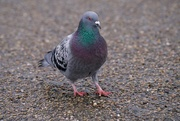 29th Jan 2021 - JUST A PIGEON