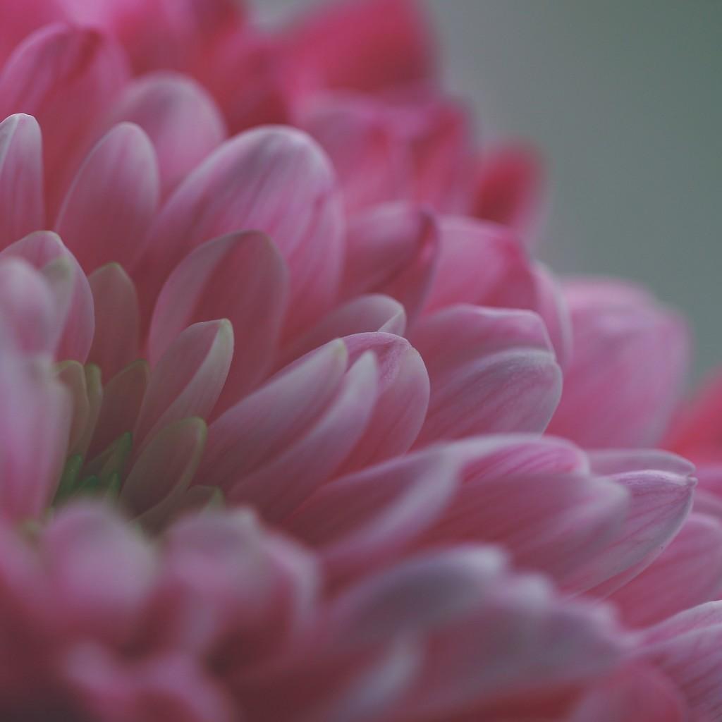 Pink by motherjane
