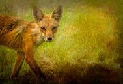29th Jan 2021 - Sly Fox