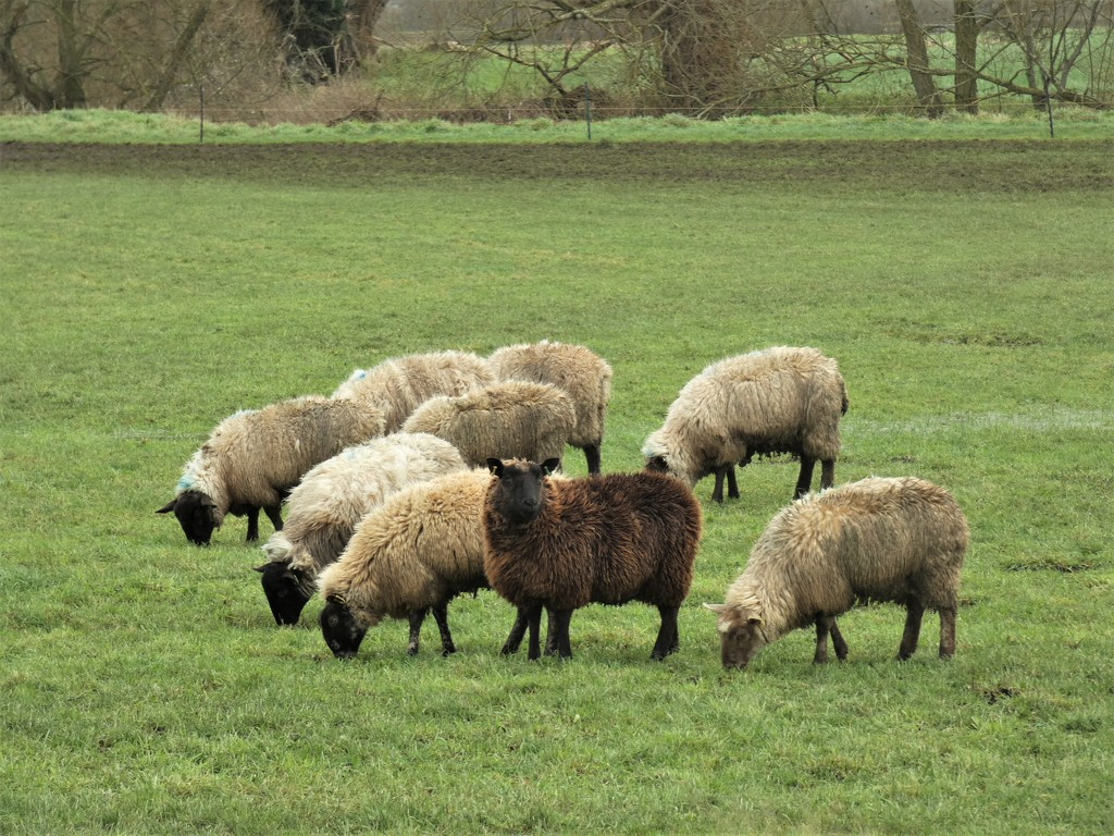 Black sheep of the family... by julienne1
