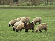29th Jan 2021 - Black sheep of the family...