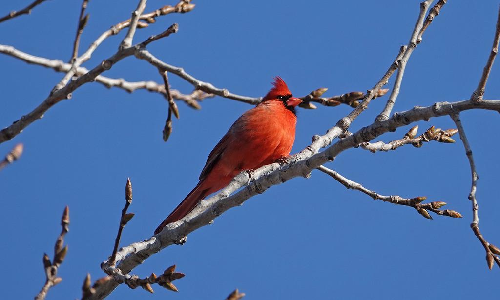 Northern Cardinal by annepann