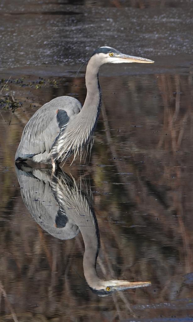 Great Blue Heron by annepann