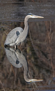 28th Jan 2021 - Great Blue Heron