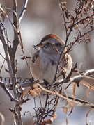 27th Jan 2021 - American Tree Sparrow