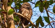 29th Jan 2021 - Sleepy Barred Owl!