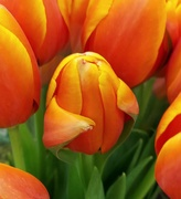 29th Jan 2021 - Tulip or Alien?