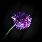 27th Jan 2021 - Centred flower