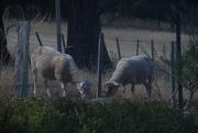 29th Jan 2021 - Sheep
