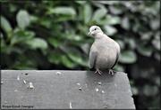 30th Jan 2021 - Little dove