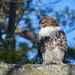 Red-Tailed Hawk by frantackaberry