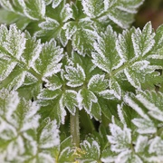 30th Jan 2021 - Green And Frosty