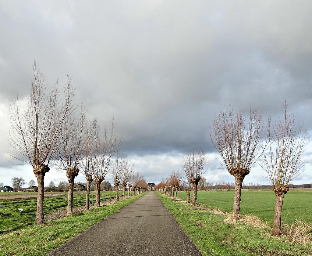 pollard willows by gijsje